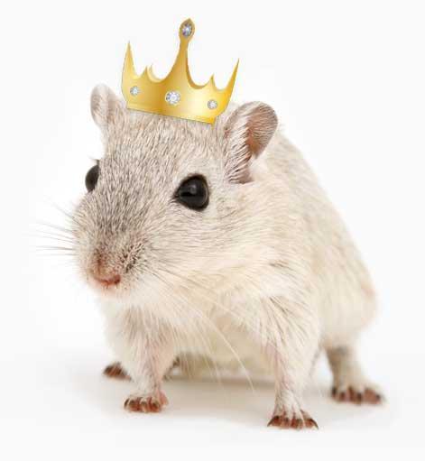 Gerbiili, jolla kruunu päässä. Tämä gerbiili tykkäisi asua linnassa!