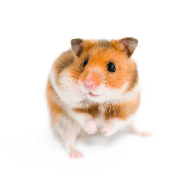 Hamsterille