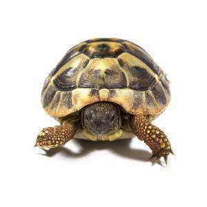 Kilpikonnalle koti