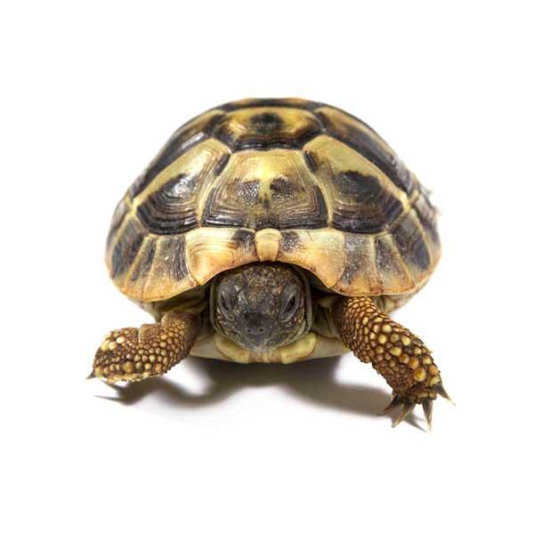 Kilpikonnalle